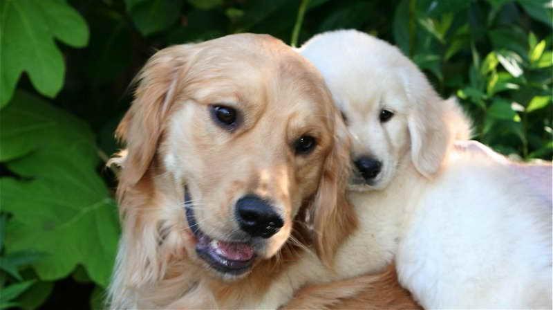 golden retriever adults for adoption