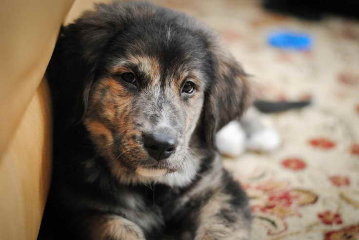 Golden Retriever Bernese Mountain Dog Mix Puppies For Sale