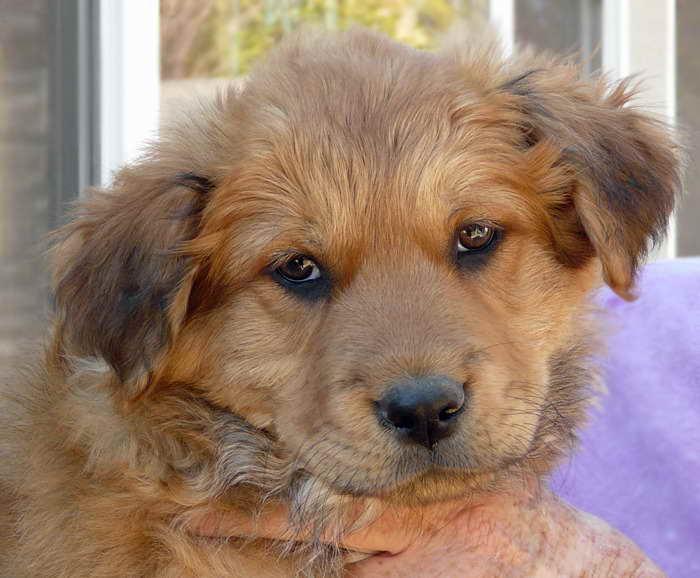 Golden Retriever German Shepherd Mix For Sale