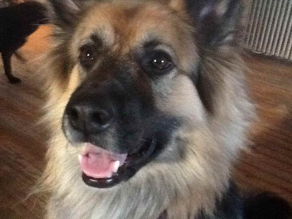 Golden Retriever German Shepherd Puppies For Sale