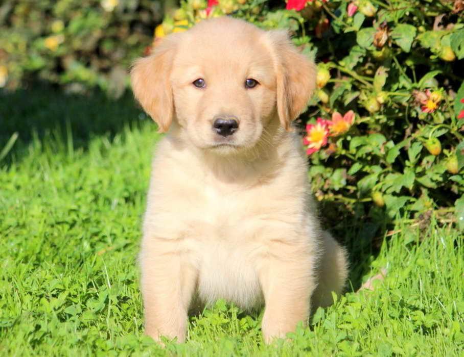 Golden Retriever Lab Mix Puppies For Sale Near Me Petfinder