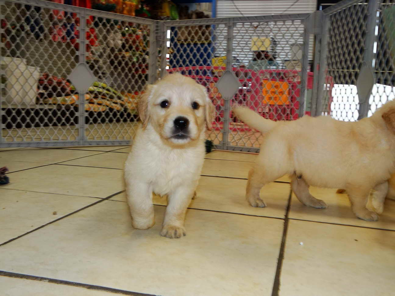 Golden Retriever Puppies Adoption Florida
