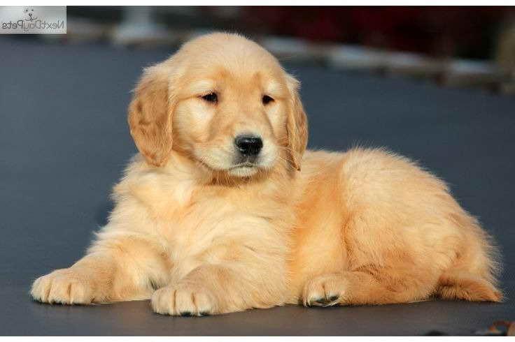 Golden Retriever Puppies Adoption Ma