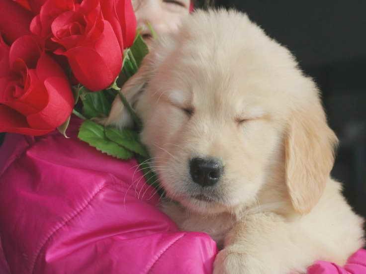 Golden Retriever Puppies Adoption Ohio