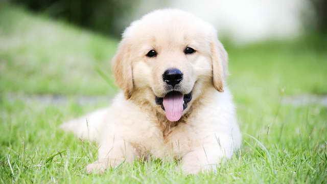 Golden Retriever Puppies Adoption
