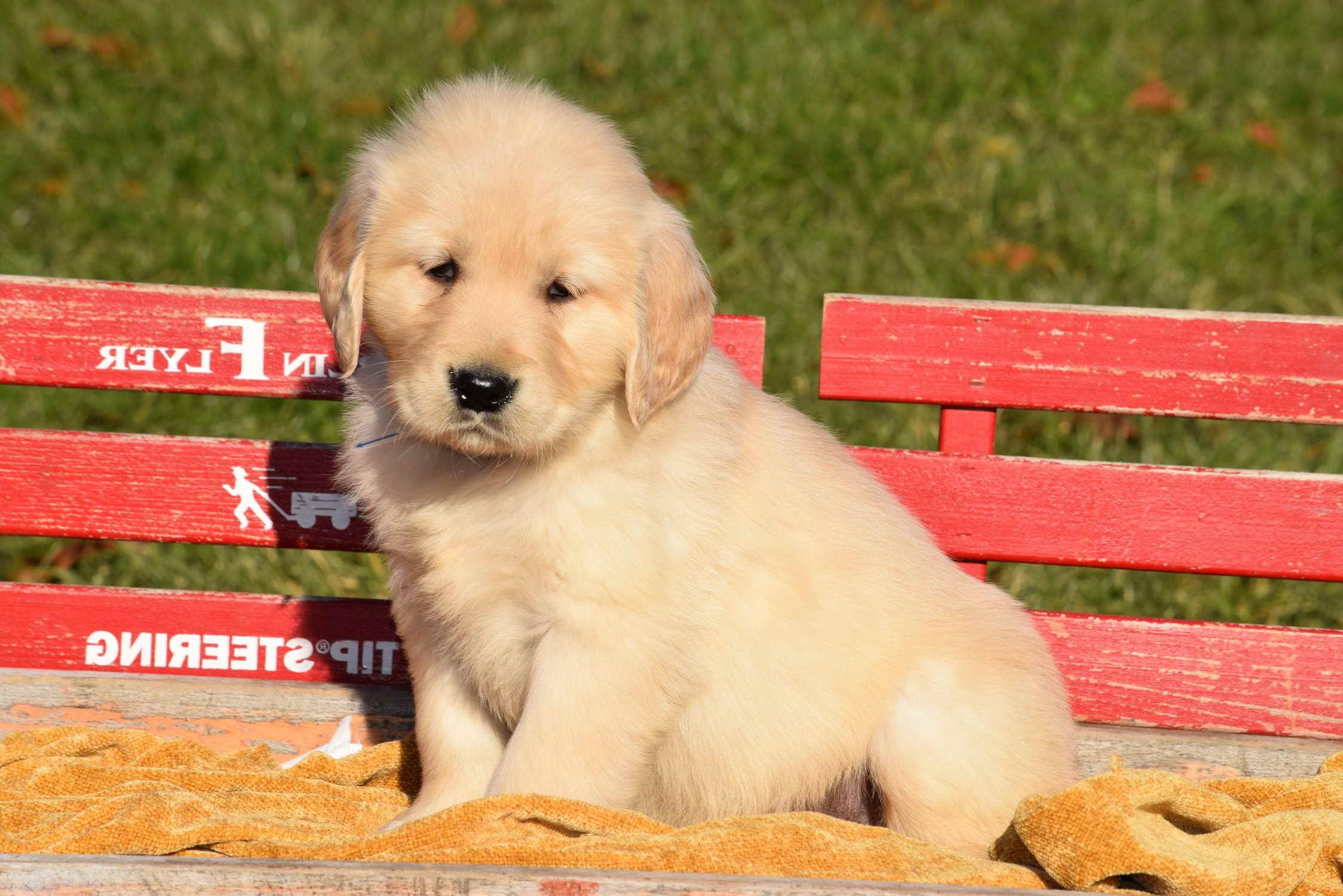 Golden Retriever Puppies For Sale Cincinnati