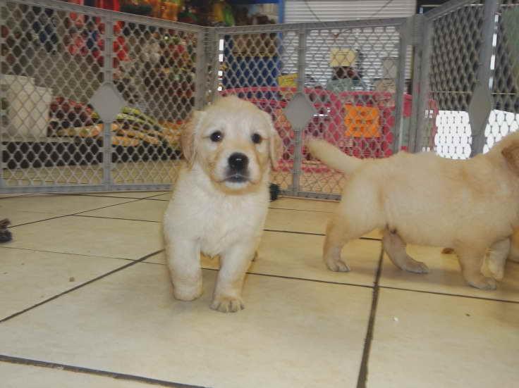 Pitbull Puppies Craigslist Pa