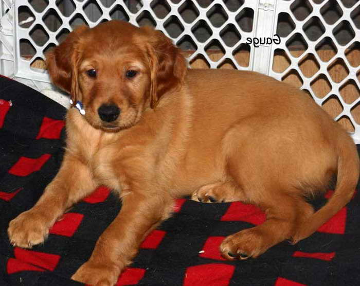 golden retriever puppies for sale in illinois golden retriever puppies for sale illinois pets and dogs 8042
