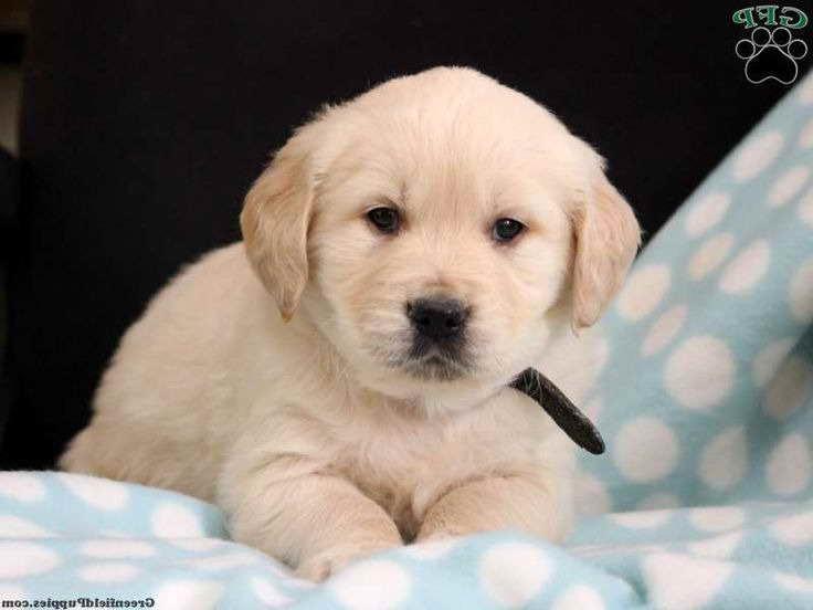 Golden Retriever Puppies For Sale In Grand Rapids Michigan ...