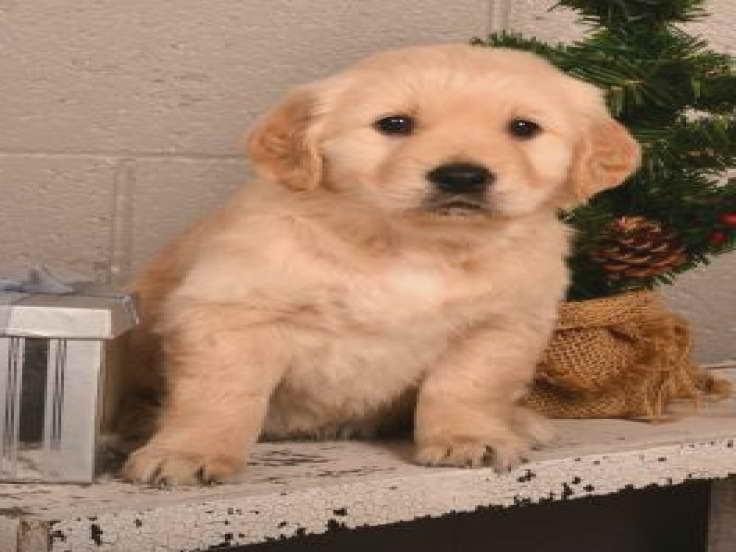 Golden Retriever Puppies For Sale In Ohio Under 200 Petsidi