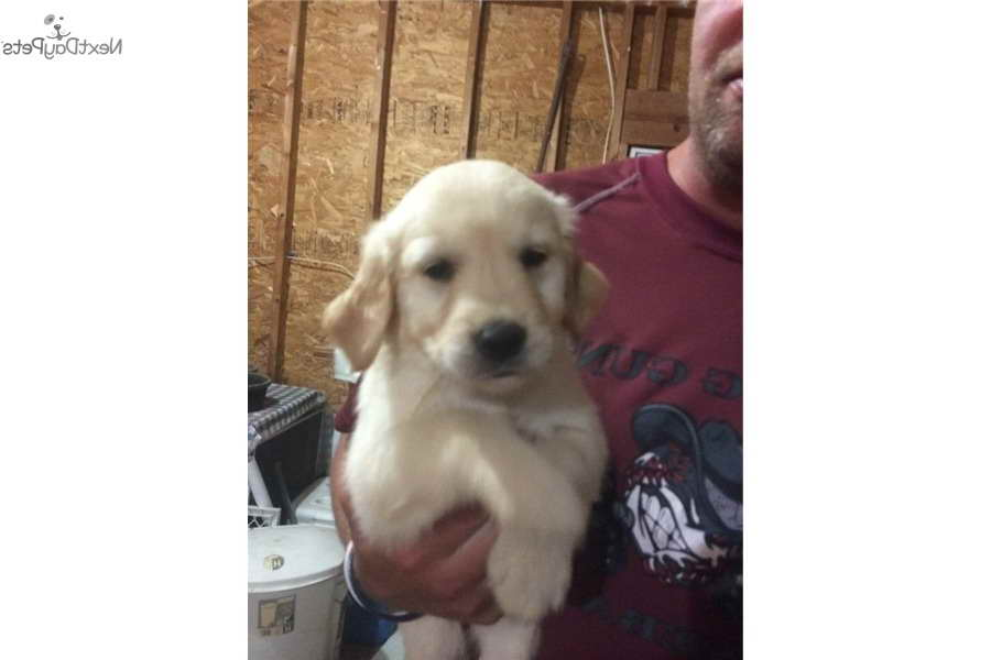 golden retriever puppies for sale in illinois golden retriever puppies for sale in southern illinois 564