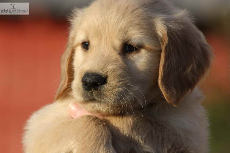 golden retriever puppies for sale in kentucky golden retriever puppies for sale louisville ky pets and 5791