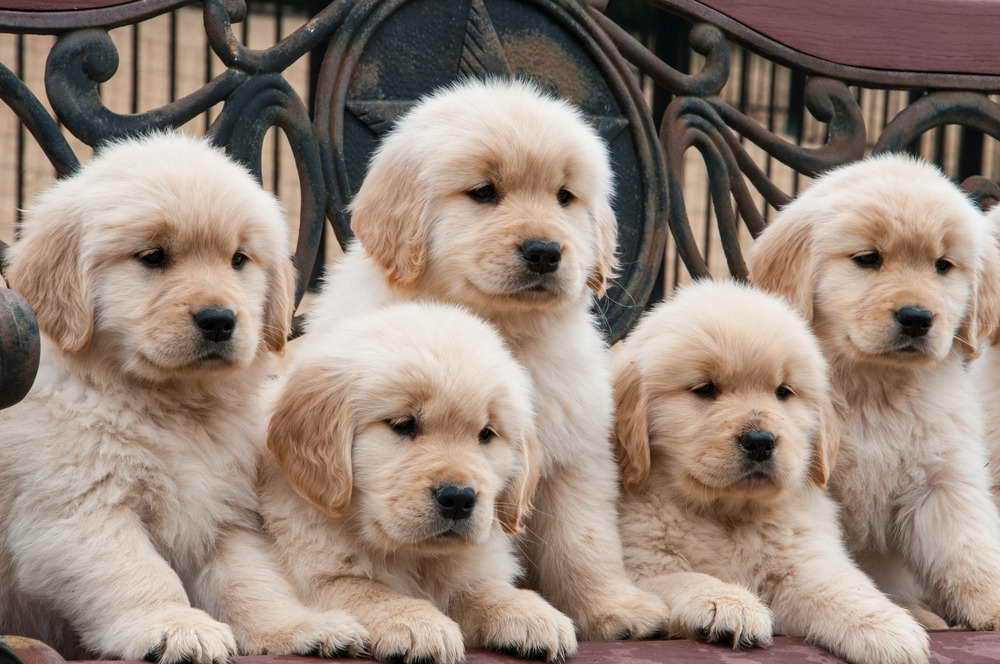 Golden Retriever Puppies For Sale In Mn 28 Images Minnesota