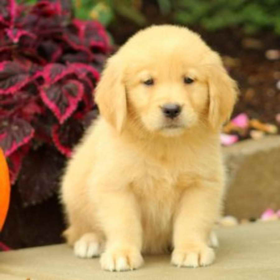 Golden Retriever Puppies For Sale Price Pets And Dogs