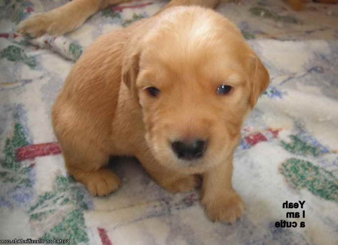 Golden Retriever Puppies For Sale Under 500 Dollars