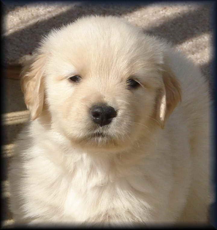 Golden Retriever Puppies Knoxville Tn   PETSIDI
