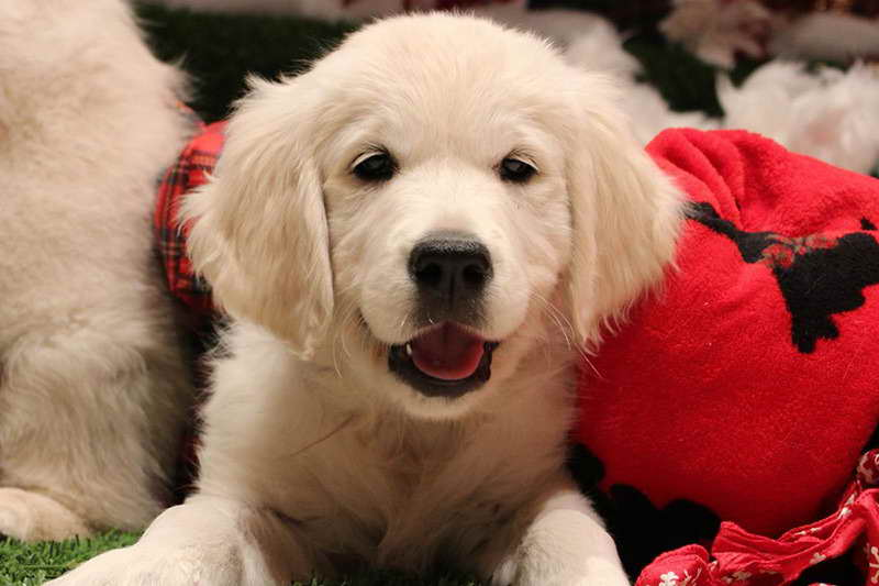Golden Retriever Puppies Medford Oregon | Pets and Dogs