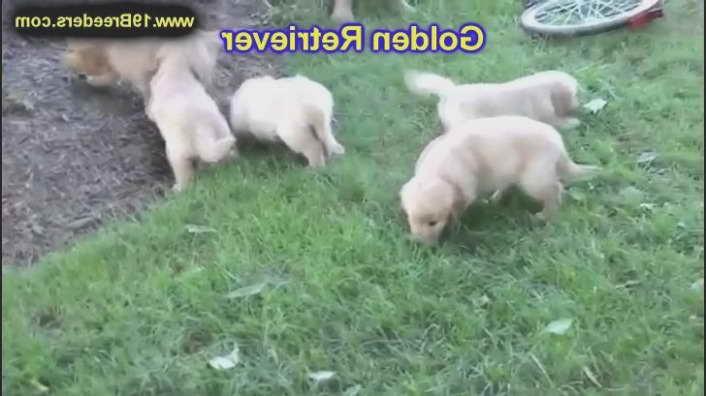 Golden Retriever Puppies Mn Craigslist