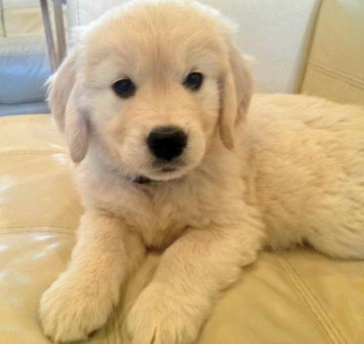 Golden Retriever Puppies Rochester Ny