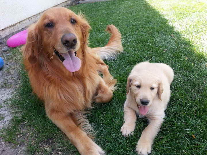 Golden Retriever Puppies Sacramento Ca