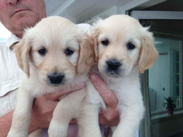 Golden Retriever Puppies Sale