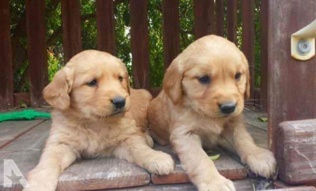Golden Retriever Puppies San Diego Ca
