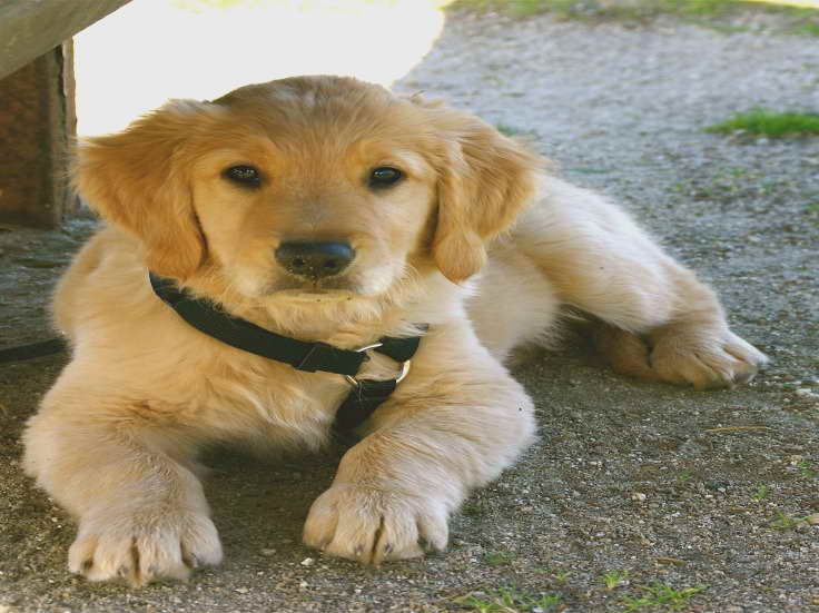 Golden Retriever Puppies San Diego