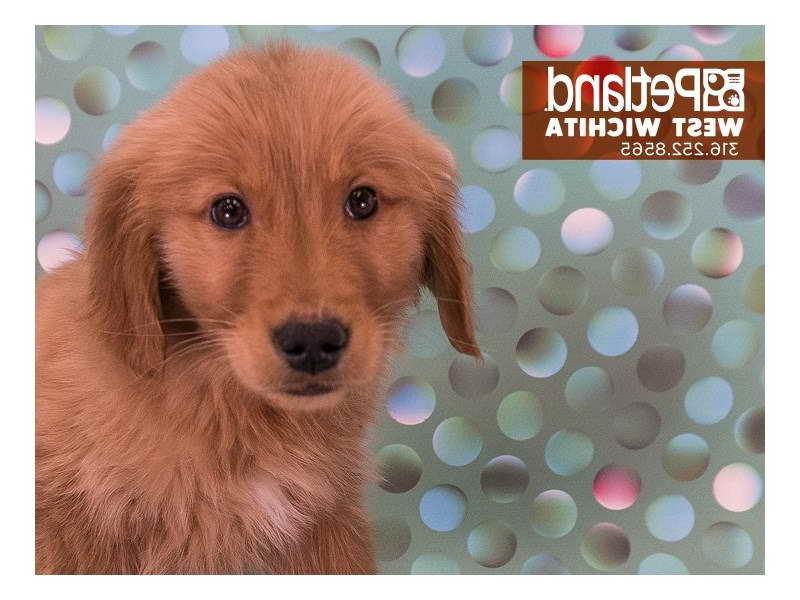 Golden Retriever Puppies Wichita Kansas | PETSIDI