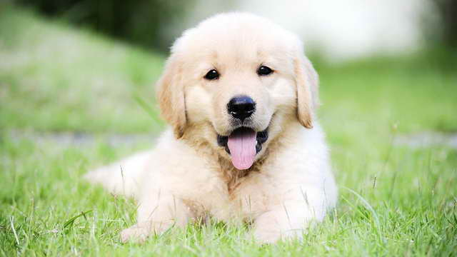 Golden Retriever Puppy For Sale Near Me | PETSIDI