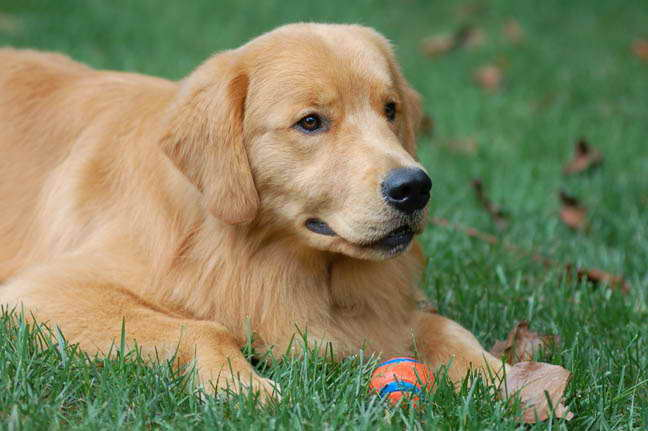 Golden Retriever Rescue Nc Petsidi