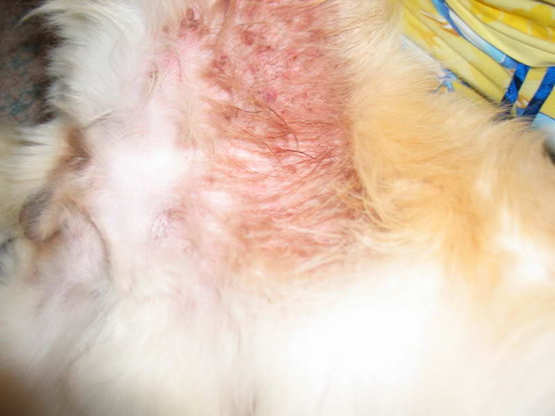Golden Retriever Skin Infection Petsidi