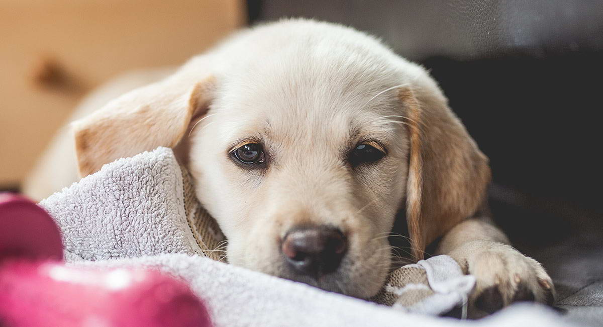 Golden Retriever Yellow Lab Mix Puppies