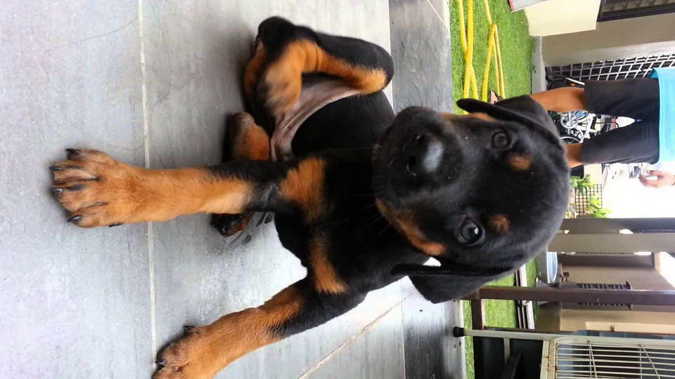 Great Dane Doberman Mix Puppies For Sale