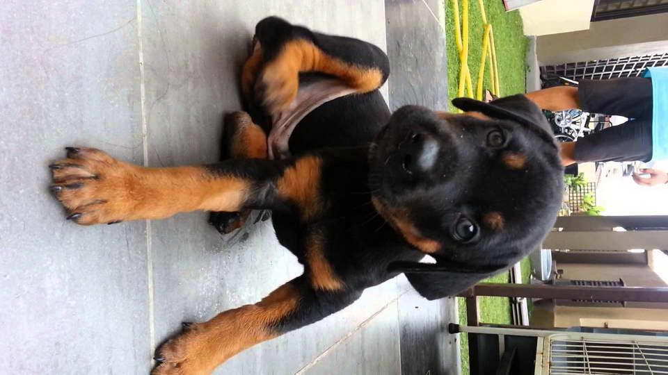 Great Dane Doberman Mix Puppies Petsidi