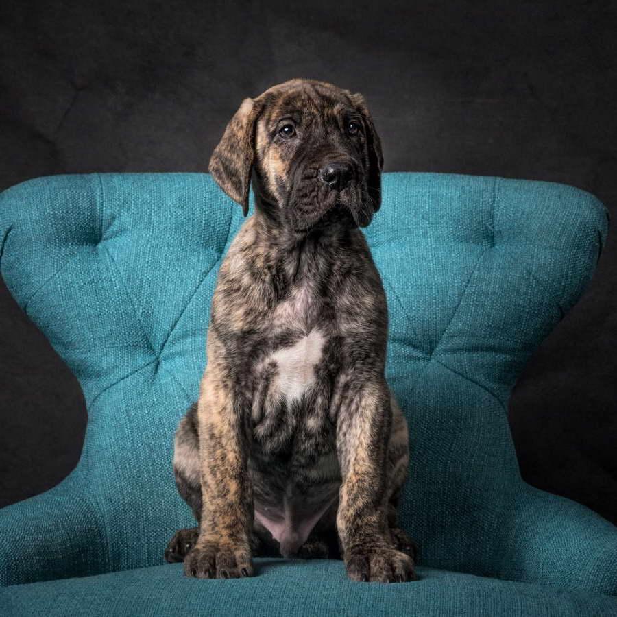 Great Dane Puppies For Sale In Virginia   PETSIDI