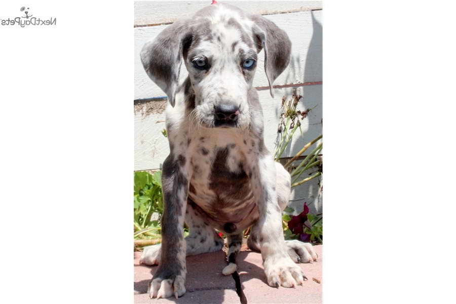 Great Dane Puppies Louisville Ky | PETSIDI