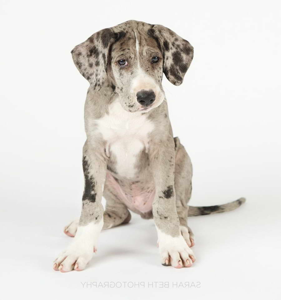 Great Dane Puppies Mn