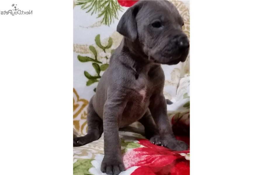 Great Dane Puppies Okc