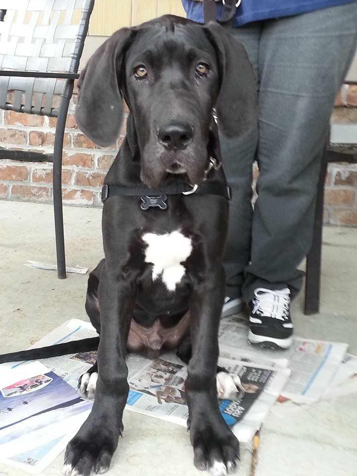 Great Dane Puppies On Craigslist