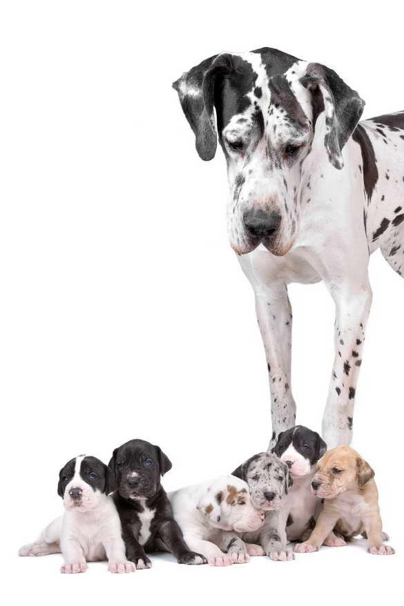 Great Dane Puppies Phoenix Az