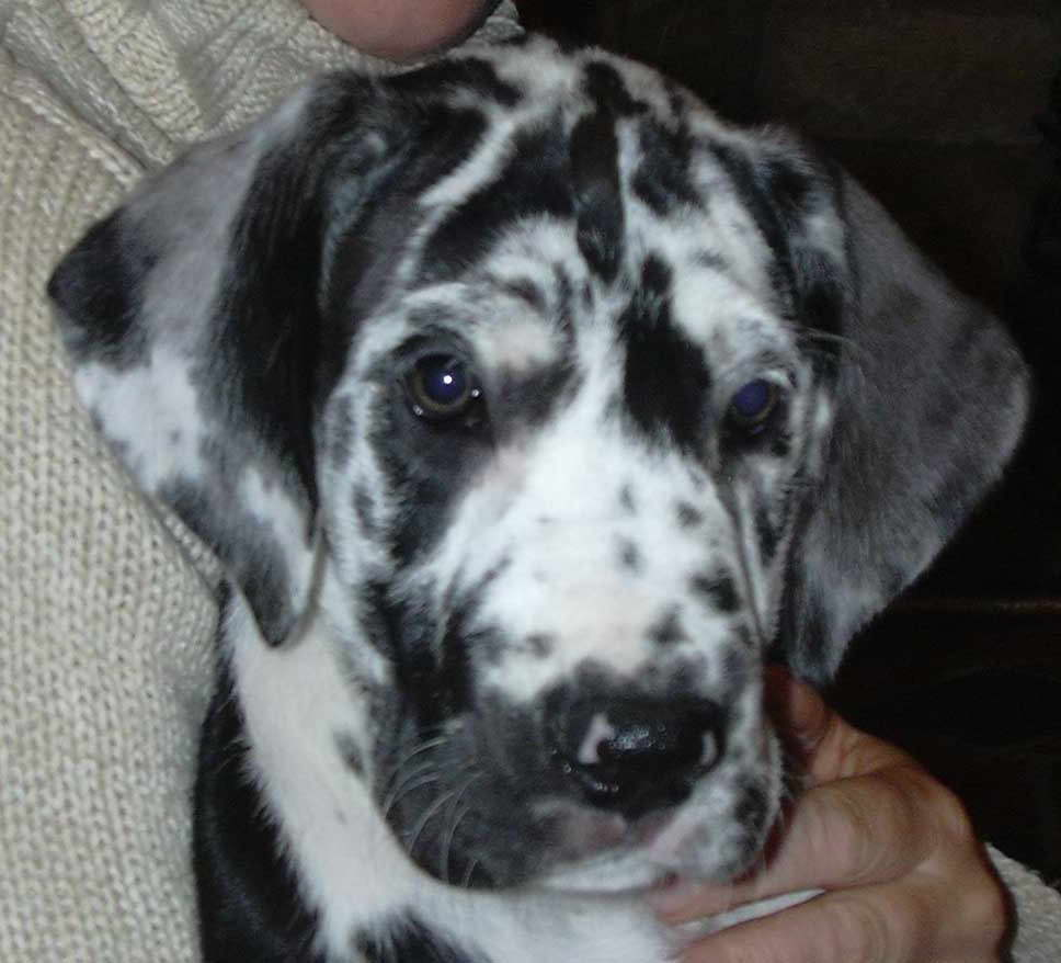 Great Dane Puppies Pittsburgh Pa