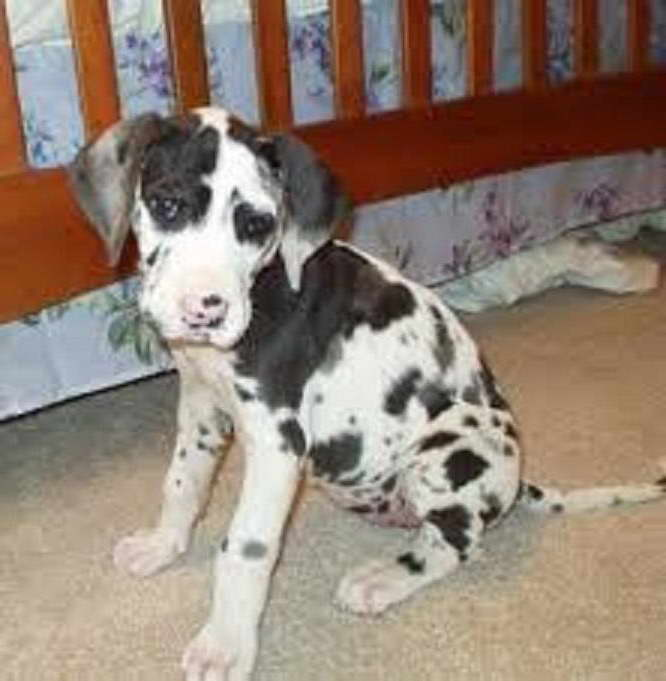 Great Dane Puppies Sacramento Ca