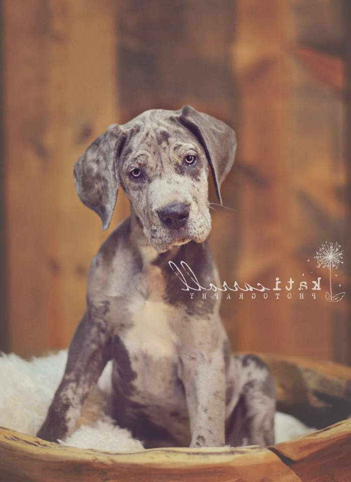 Great Dane Puppies Savannah Ga