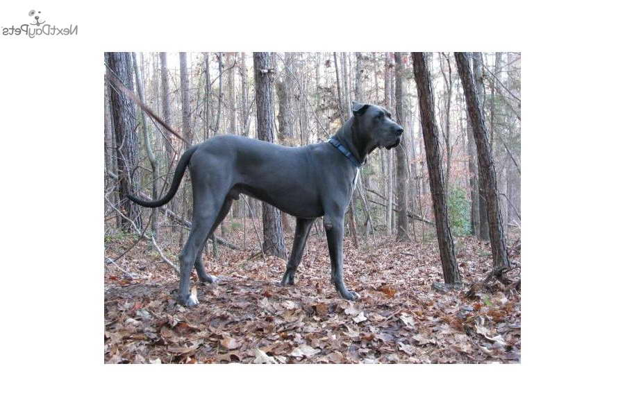 Great Dane Puppies South Carolina