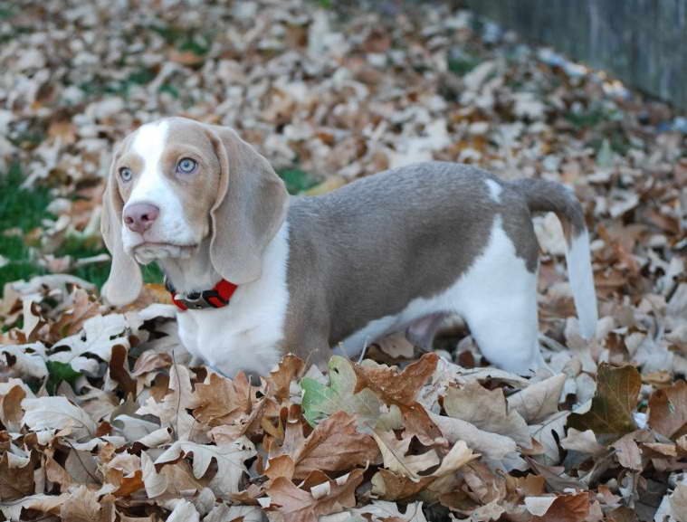 Grey Beagle Puppies For Sale