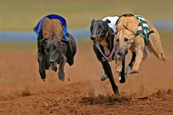 Greyhound Dog Racing Near Me | Pets and Dogs