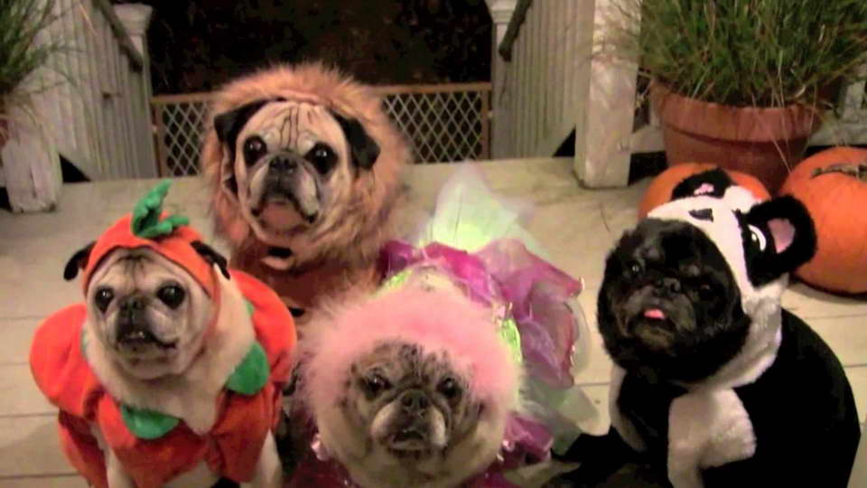 Halloween Pug Pictures