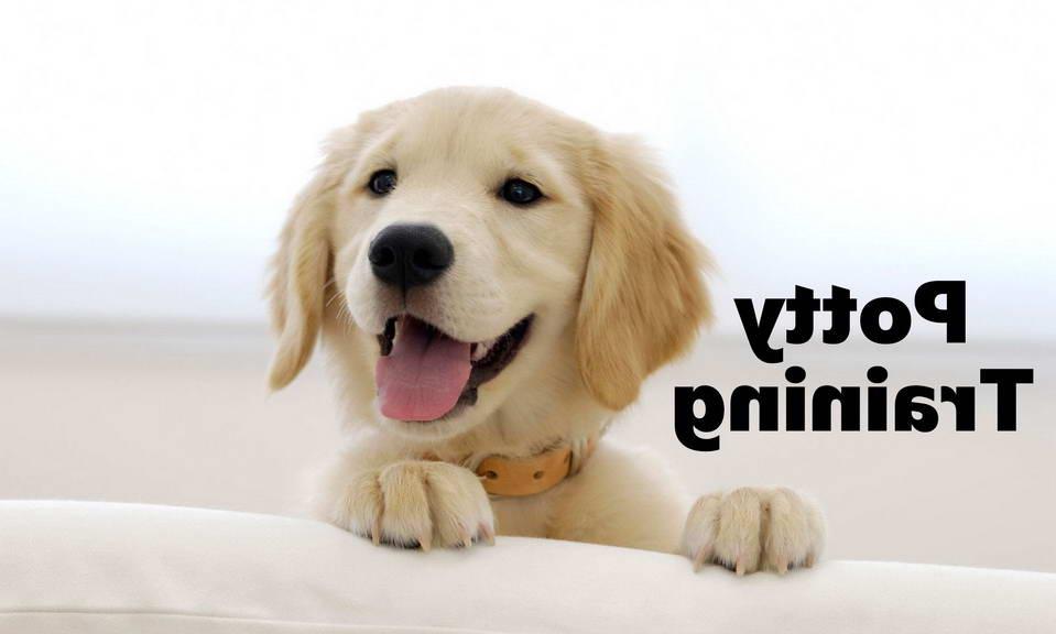 House Training Golden Retriever Puppies