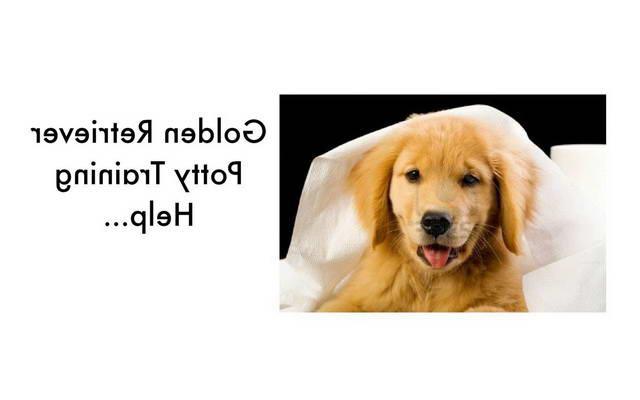 Housebreaking Golden Retriever Puppy