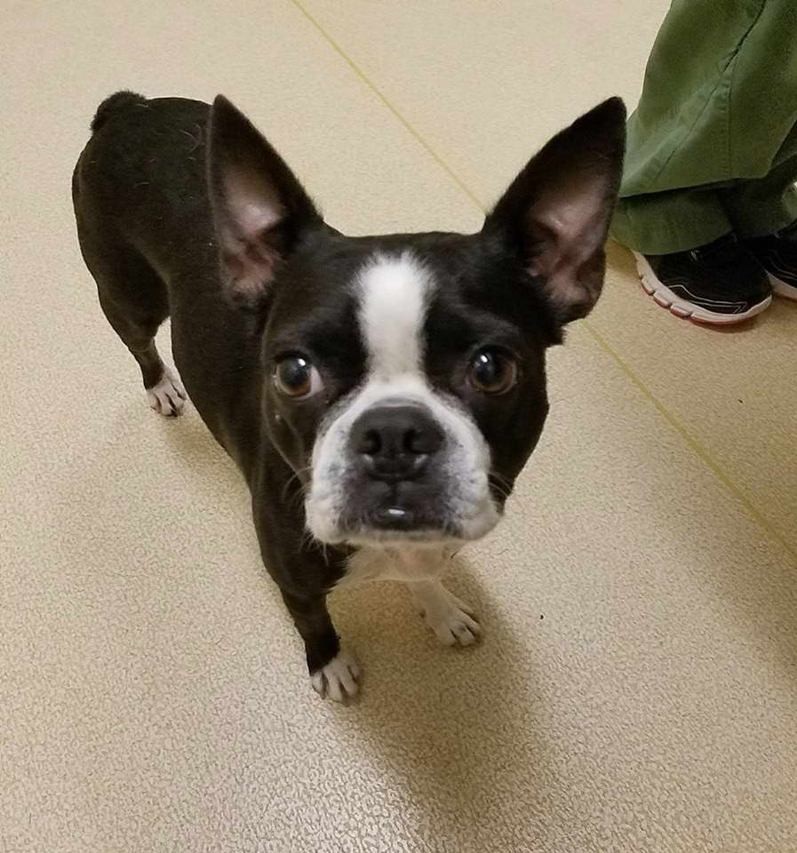 Houston Boston Terrier Rescue